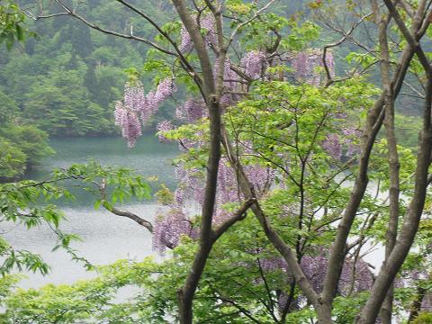 15 淡海池(処女湖)の藤