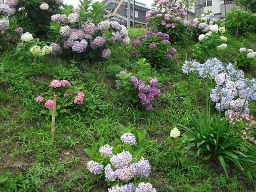 3 公園の紫陽花