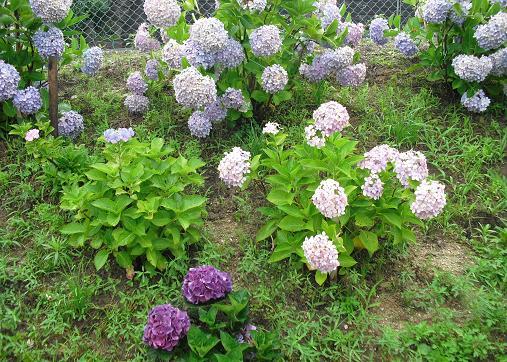 4 公園の紫陽花