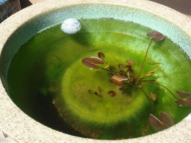 冬を越した信楽焼の睡蓮鉢
