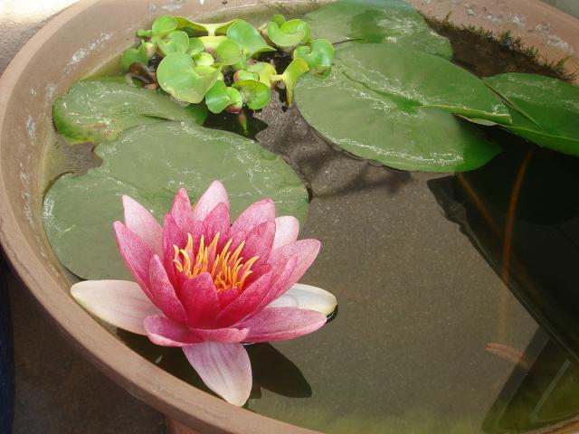 睡蓮の開花