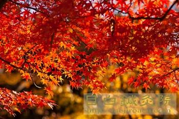 2012都心紅葉 代々木公園 モミジ11