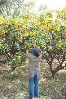 2012早生温州・伊豆稲取・無農薬・ミカン狩り2