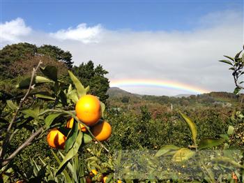 20121204伊豆みかんボランティア収穫1