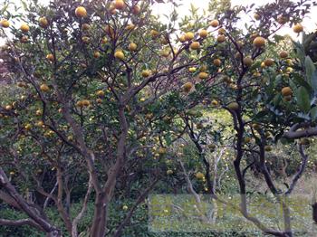 20121204伊豆みかんボランティア収穫2