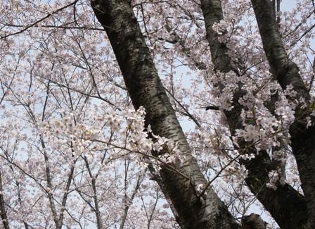 満開の桜 (1)