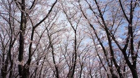 満開の桜 (3)
