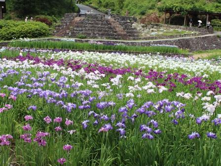 山崎菖蒲園 (4)