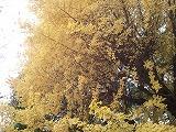20121130 銀杏