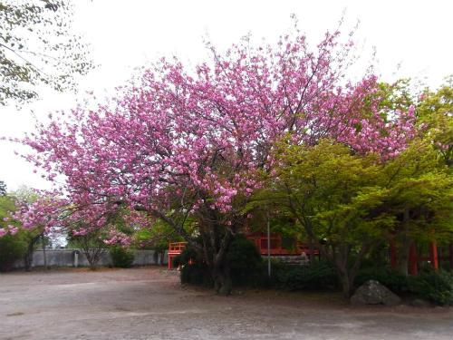 常盤共有墓地の桜
