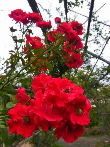 平成の森のバラ