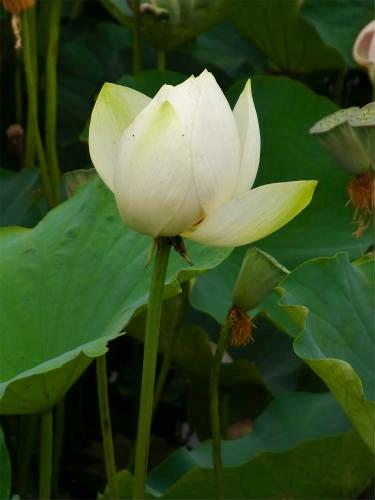 平成の森の白い蓮