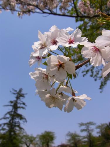 岩崎城の桜