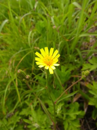 車山高原植物 (5)
