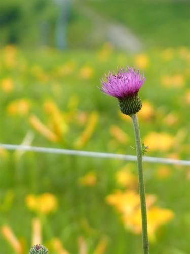 車山高原植物 (4)