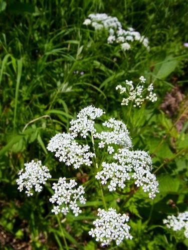 車山高原植物 (3)