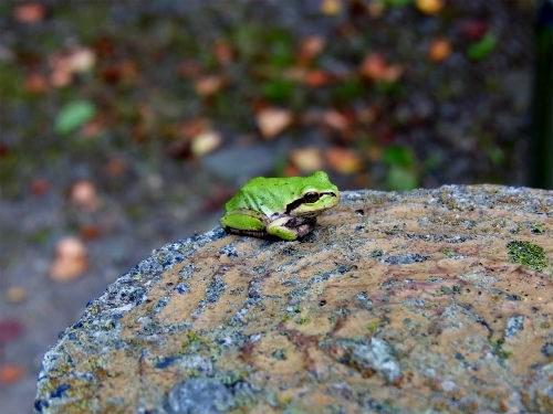 布引観音の蛙