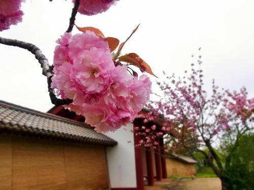 秋田八重桜