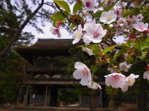 天徳寺の桜