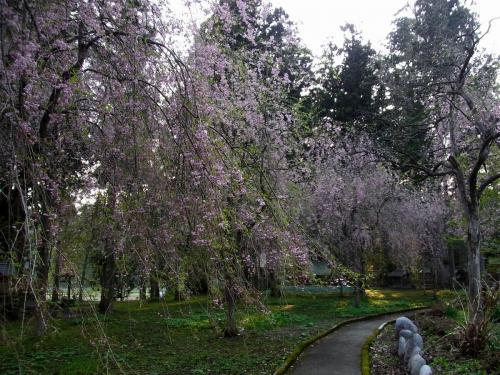 6唐松神社の桜 (1200x900)