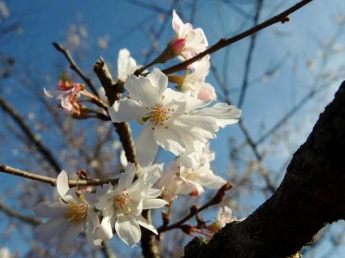 5冬桜 (1200x900)