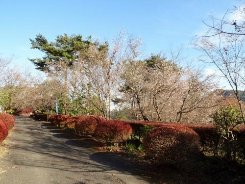 4冬桜 (1200x900)