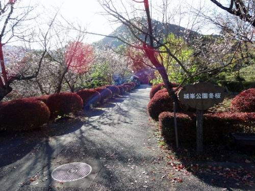 3冬桜 (1200x900)