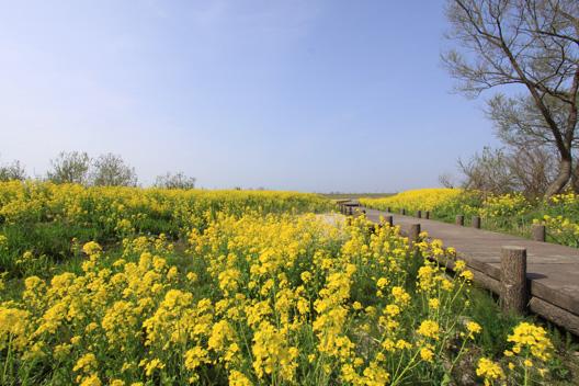 新潟 村上 菜の花