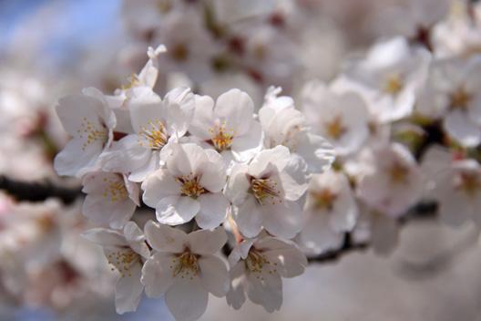 新潟 村上 お花見 配達 弁当