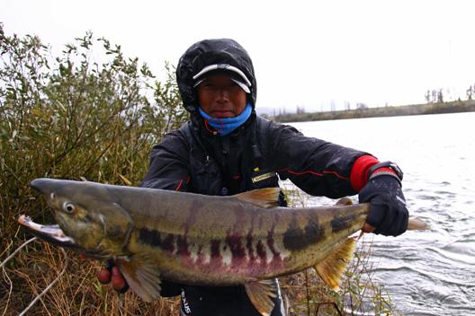 荒川鮭(サケ)釣り 11月27日