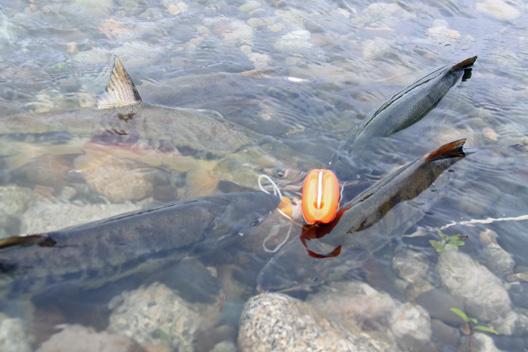 荒川鮭(サケ)釣り 12月7日