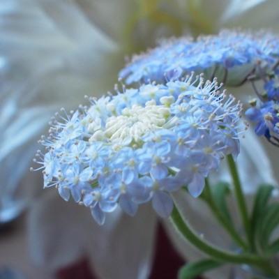 つぼみを結んでいるのがかわいいのですが、手前の花にもっとピントを合わせた方がよかったかなと反省。
