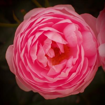 一年中薔薇が好き!