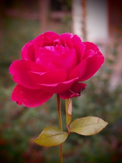 健気、という言葉がぴったりの薔薇だと思いませんか?この日はこのあと大阪にも雪が降りました。