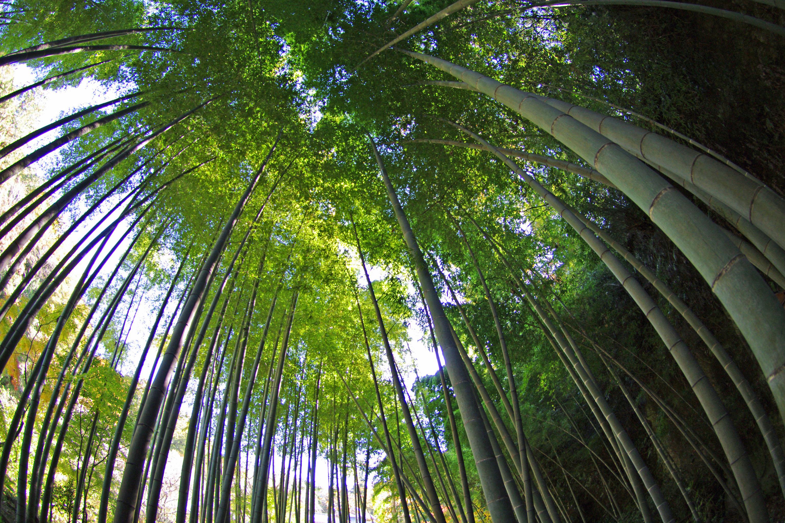 明月院の竹林