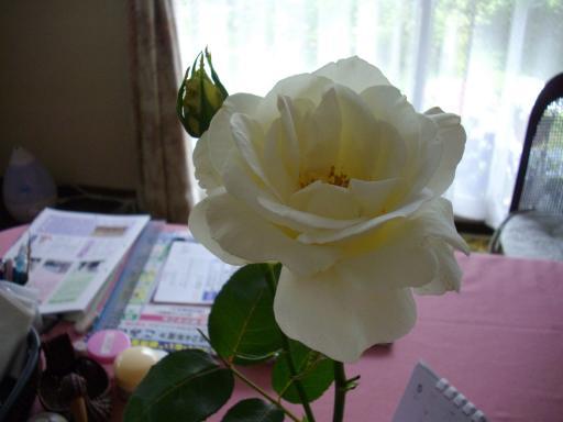 今日のバラ1
