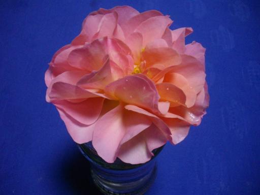 今日のバラ2