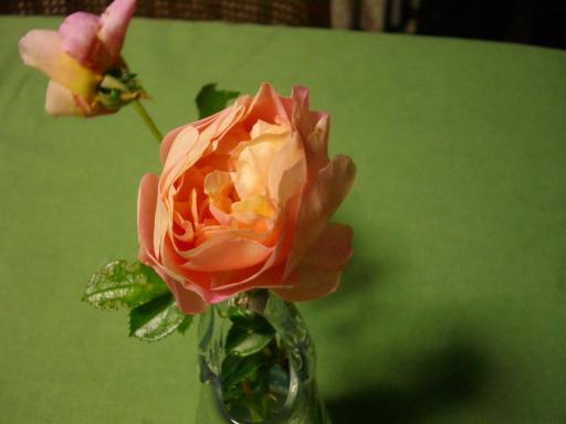 しおれたバラ1