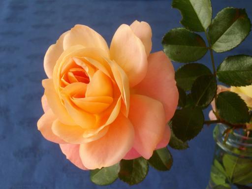 冬のバラ11