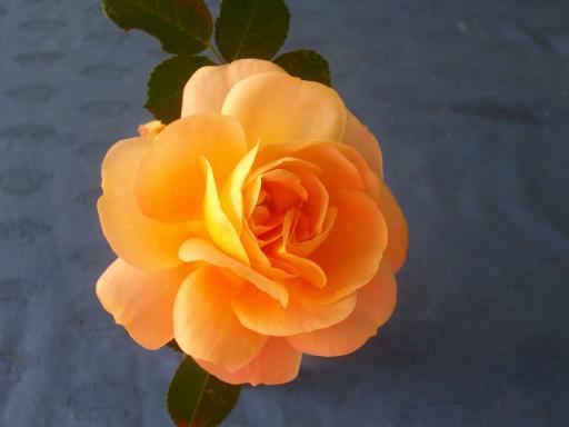 冬のバラ12