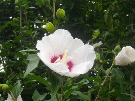 芙蓉の花1