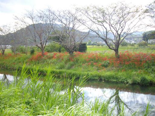 川の土手のヒガンバナ2