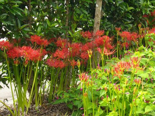 庭のヒガンバナ1