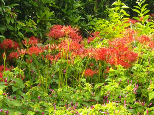 庭のヒガンバナ2