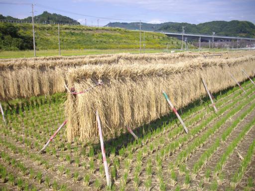 自然乾燥の稲1