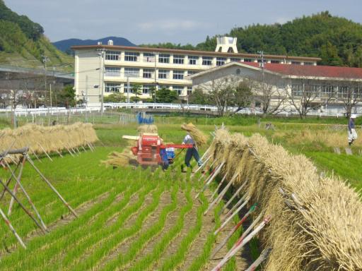 自然乾燥のに稲2