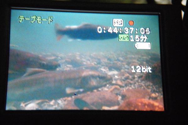 産卵に集まった魚たち2