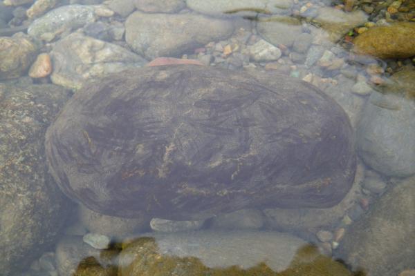 アユのハミ跡がついた長良橋直下の石