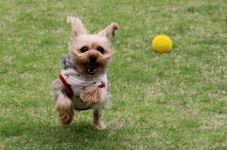 ココアちゃん、ボールを追う。