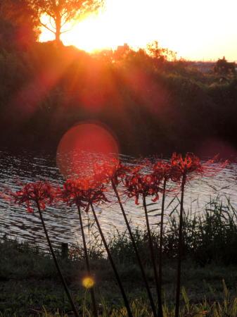 ヒガンバナと夕日